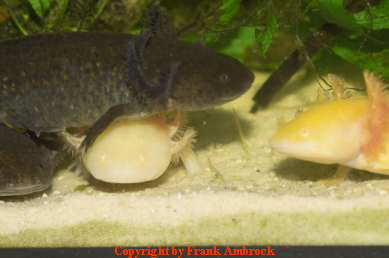 Körperbau Axolotl