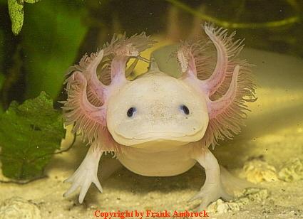 Axolotl Weißling