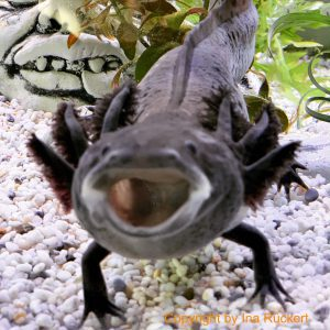 Vergesellschaftung Axolotl