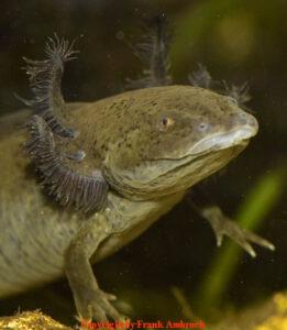 Axolotl Krankheiten